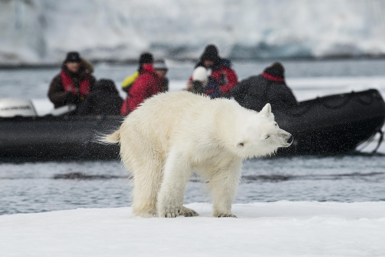 polar bear winter activities cananda