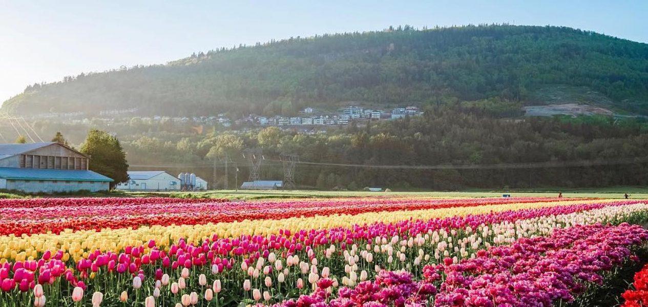 bloom tulip fest
