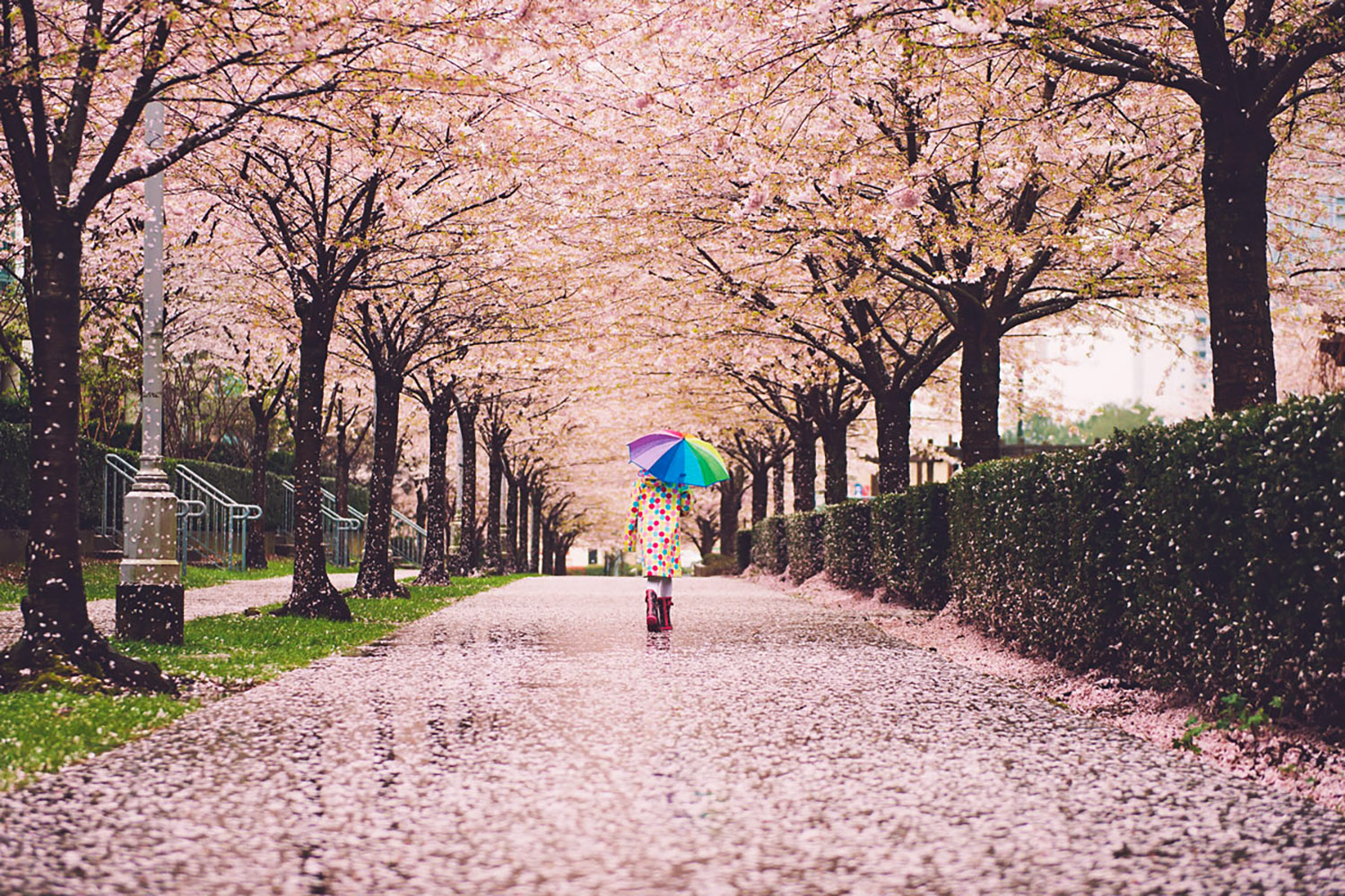 The Best Places To See The Most Beautiful Cherry Blossoms In Vancouver Curiocity Group Inc