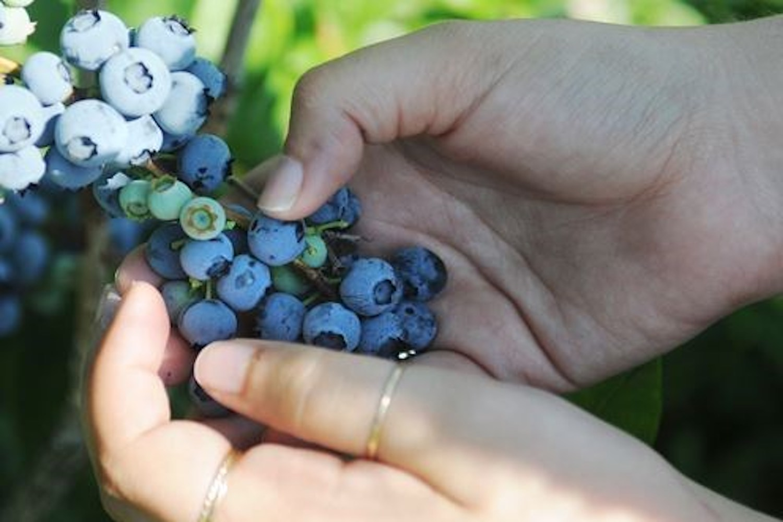 pick your own fruit near toronto