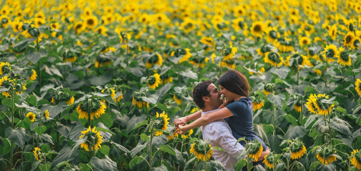 sunflowers canada