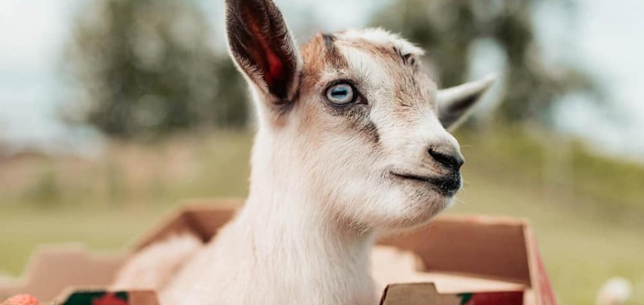 goat yoga world record