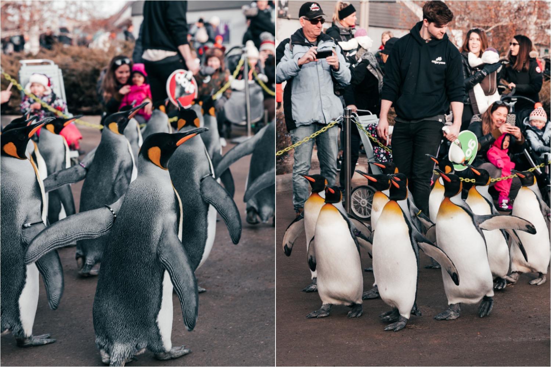 calgary zoo penguin walk