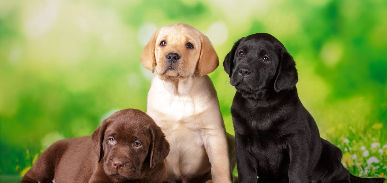 most popular dog breeds in canada