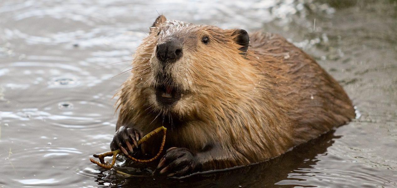 beaver internet