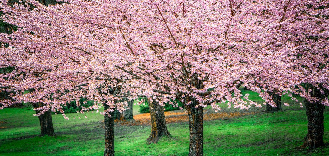 cherry blossom map