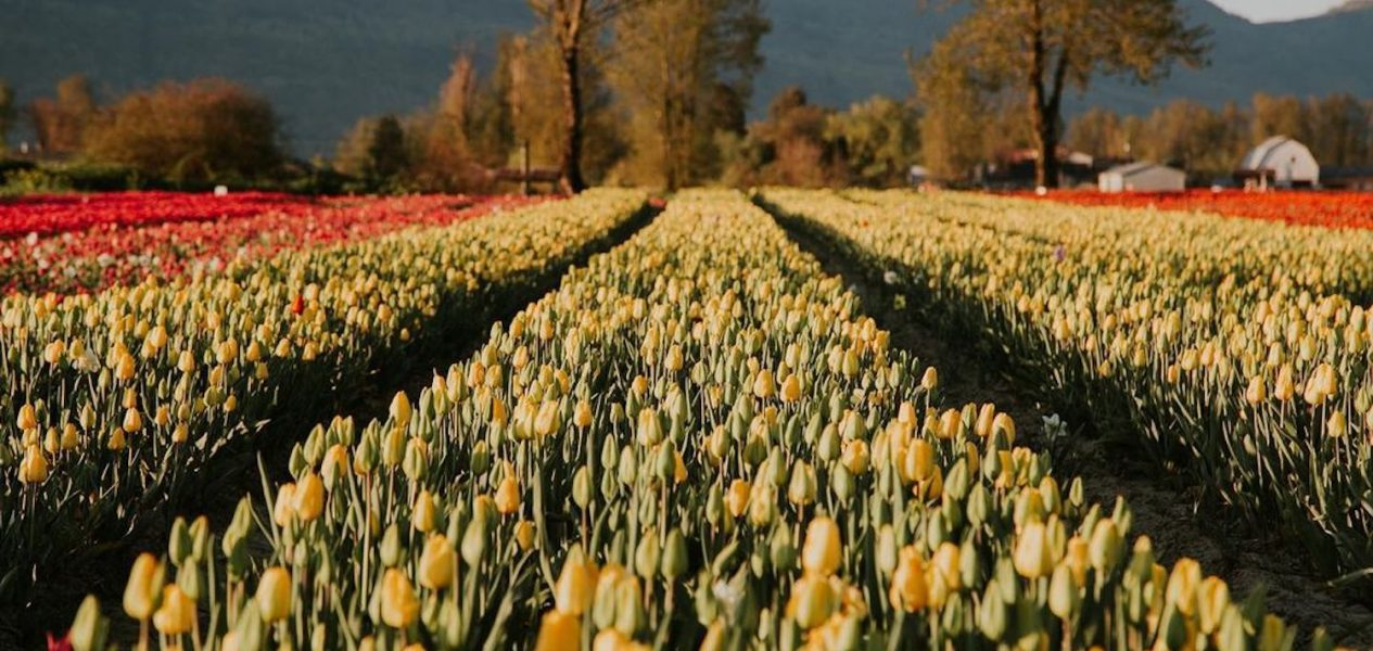 tulips of the valley chilliwack