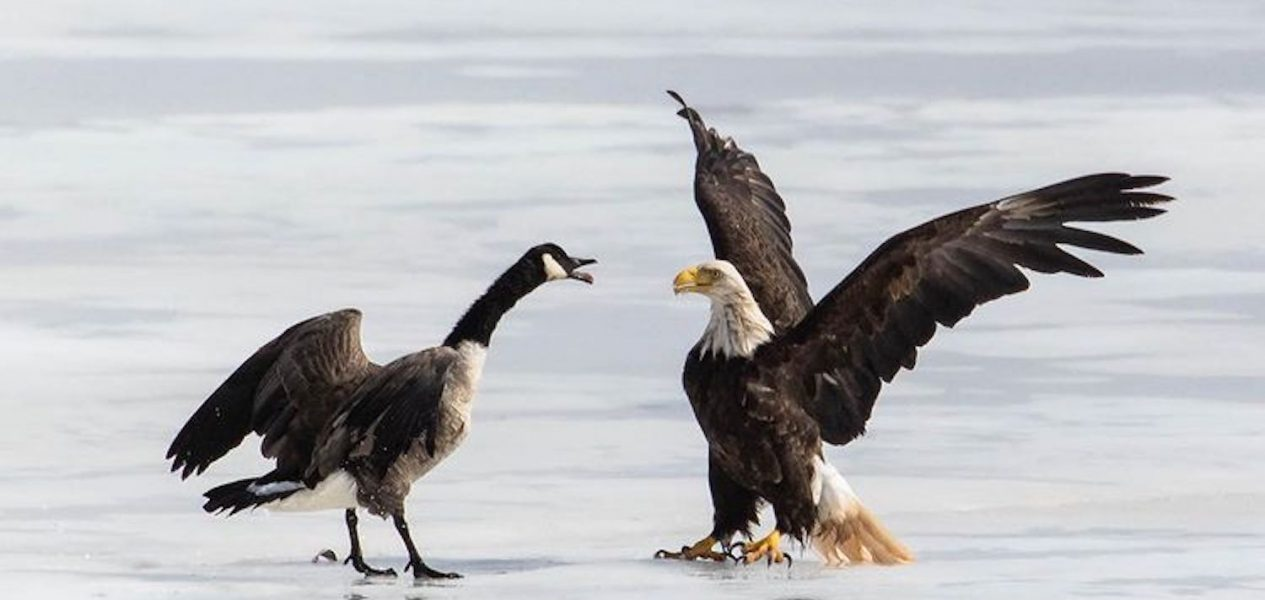eagle goose battle