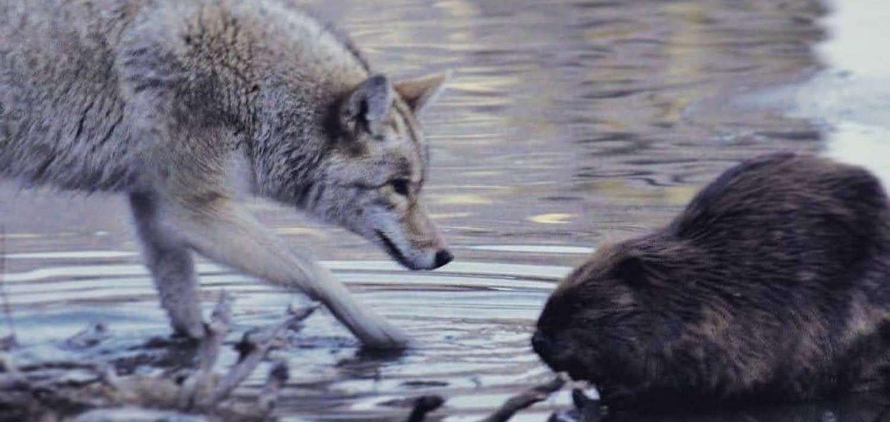 coyote beaver calgary