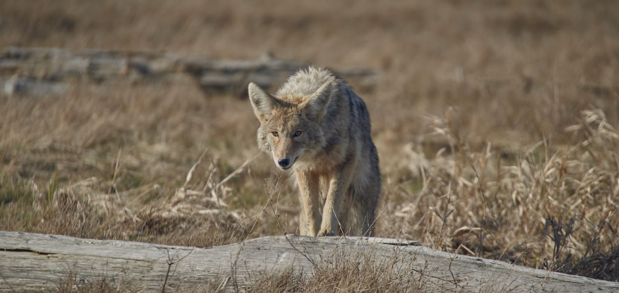 cat coyote vancouver