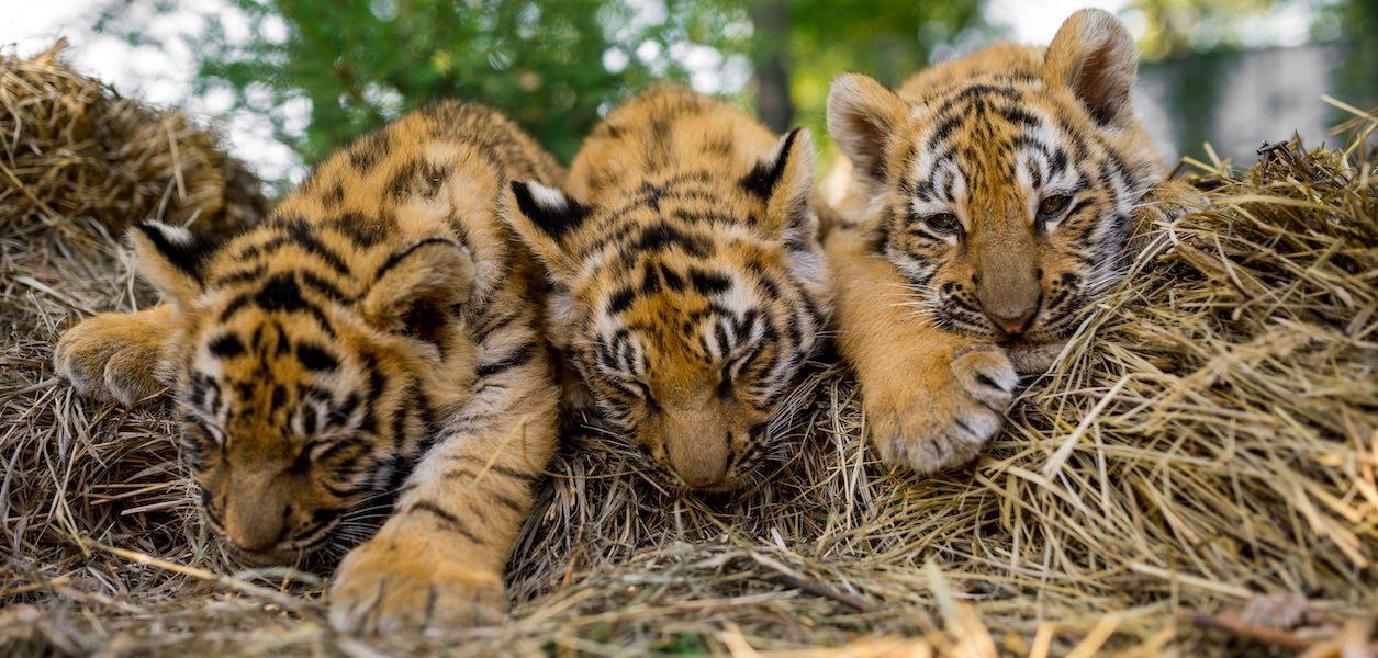 toronto zoo tiger cubs