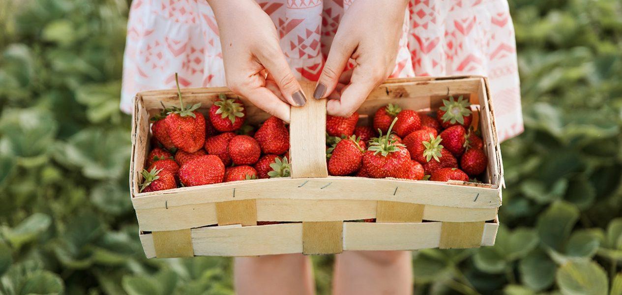 maan farms u-pick strawberry