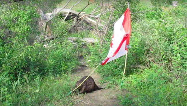 beaver canada flag