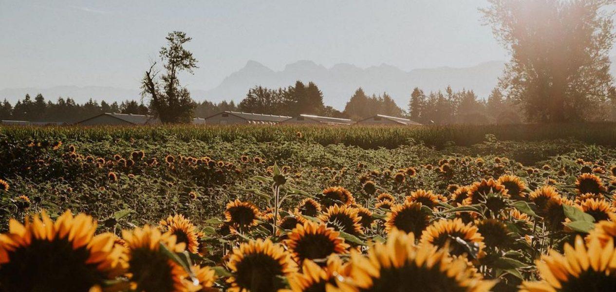 chilliwack sunflower fest