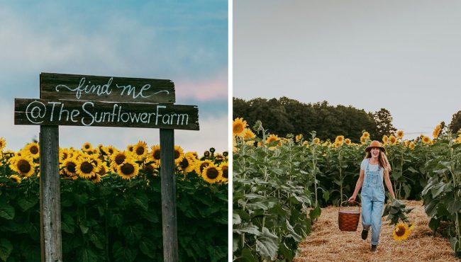 the sunflower farm