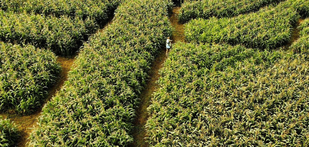 Sunny spot corn maze