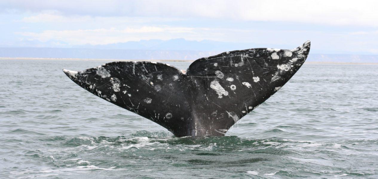 grey whale bc