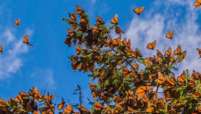 migrating monarch butterflies ontario