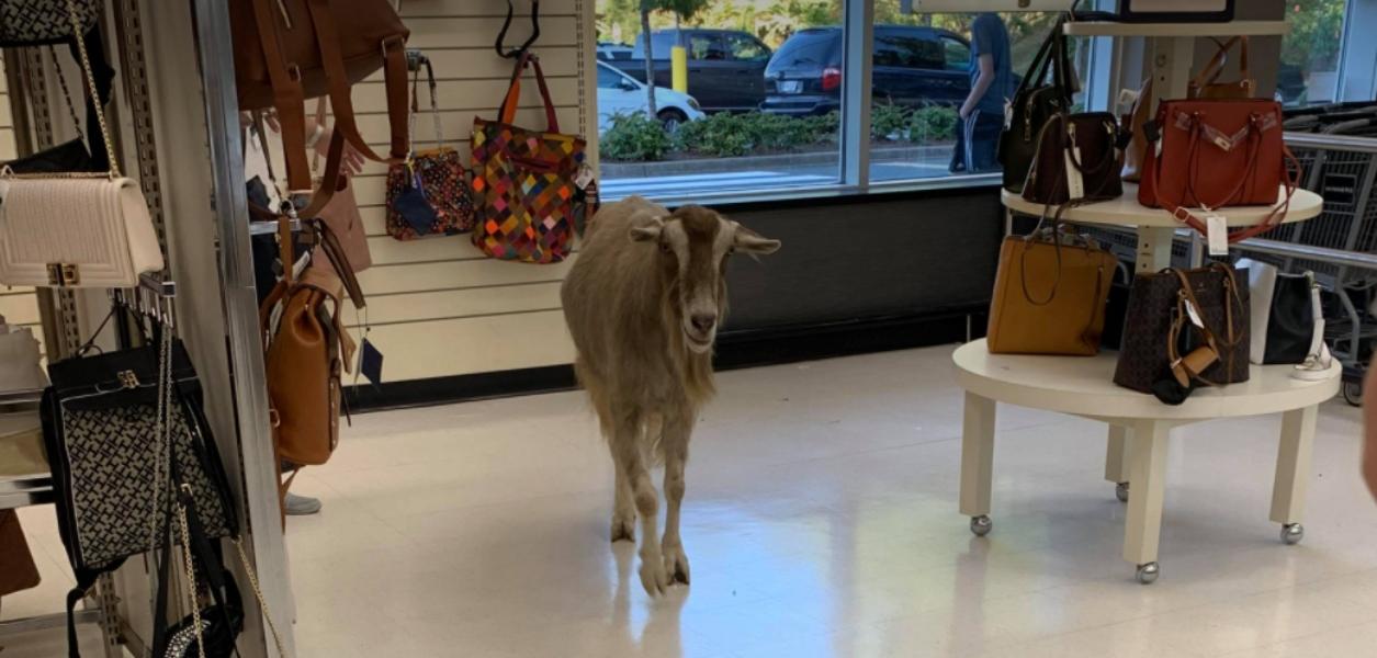 goat at winners