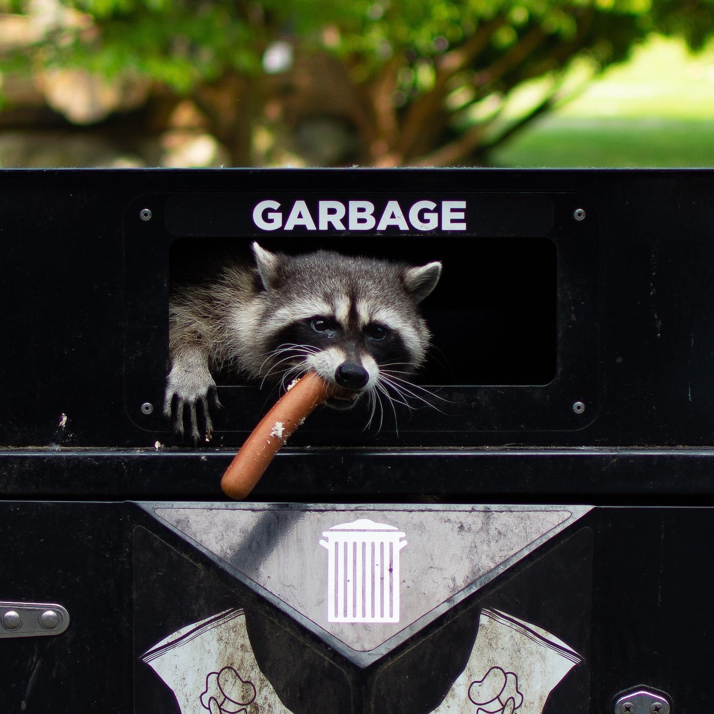 raccoon bc wildlife