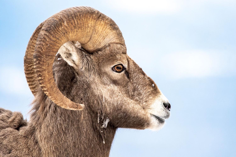 sheep alert