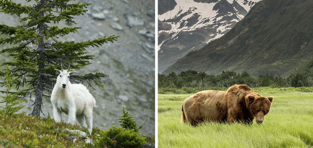 mountain goat grizzly