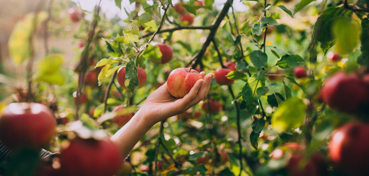 u-pick apples Seattle