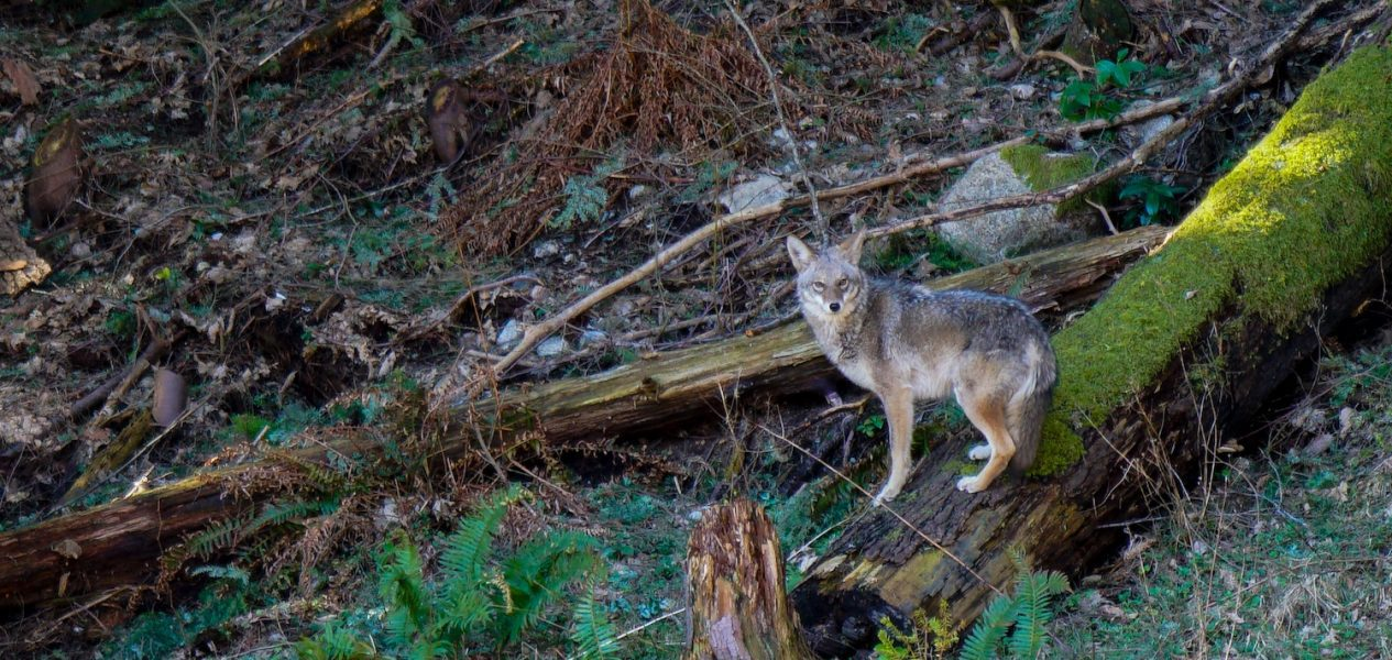 stanley park coyote