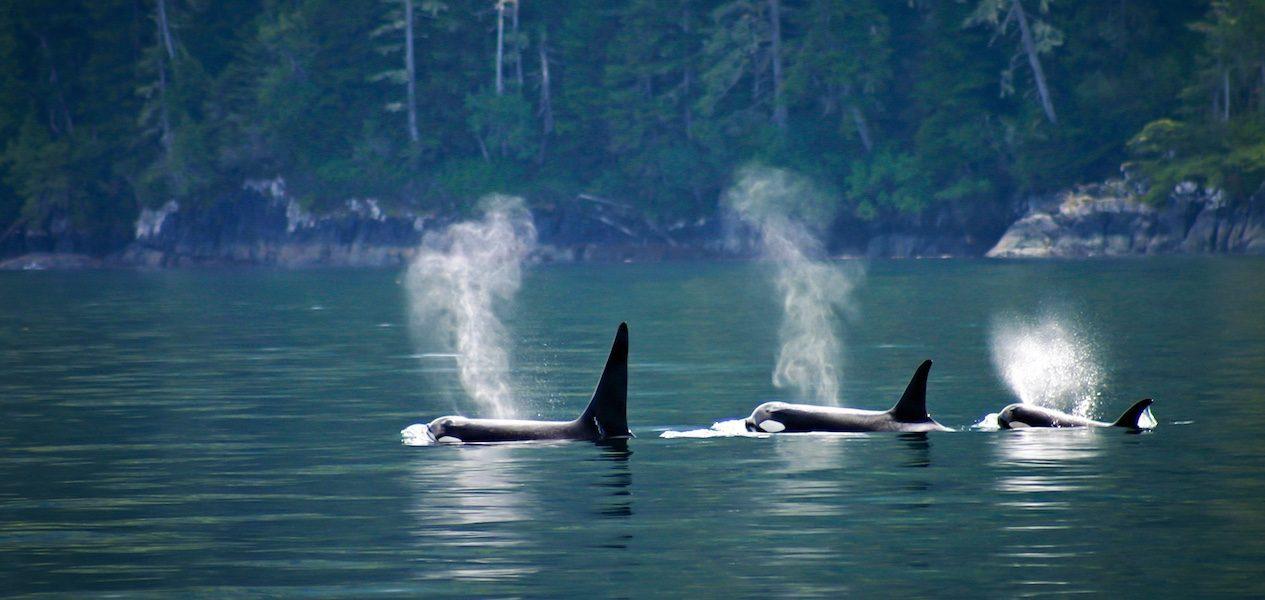 orcas bc