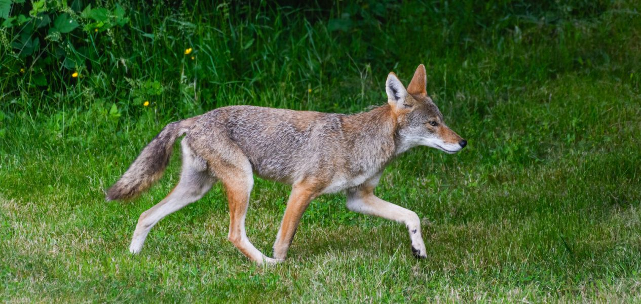 stanley park coyotes
