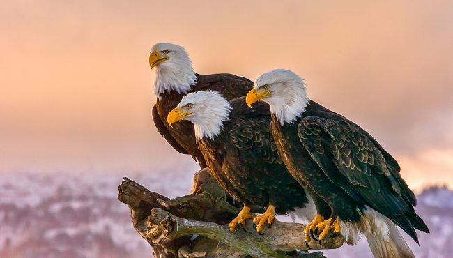 eagles bc